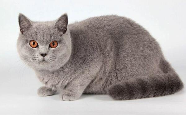 Điểm nổi bật của những chú mèo Anh lông ngắn