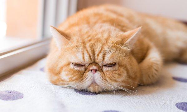 Giống mèo Ba Tư siêu đáng yêu