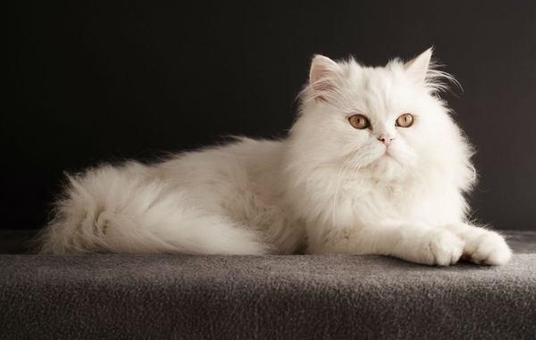 Mèo Ba Tư rất đa dạng về chủng loại