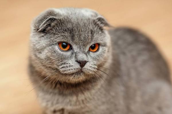 Phân biệt mèo tai cụp Scottish Fold với mèo Anh lông ngắn