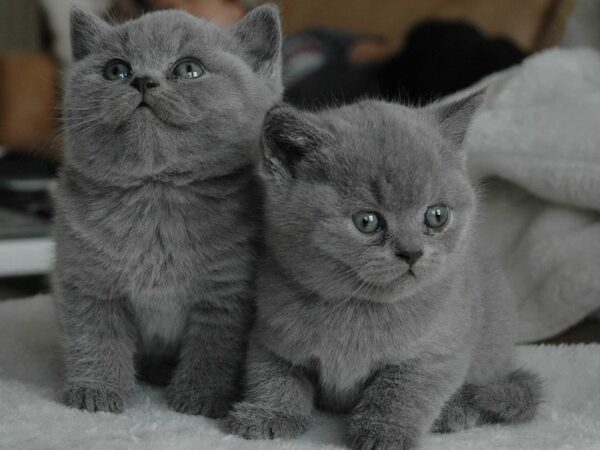 Tổng hợp kinh nghiệm chọn mua mèo cảnh