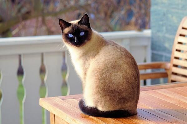 Chăm sóc lông cho mèo Himalaya