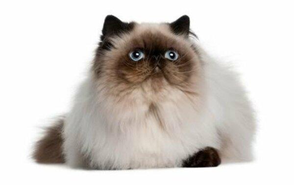 Thông tin về lịch sử phát triển mèo Himalaya
