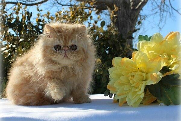 Mèo Himalaya siêu dễ thương