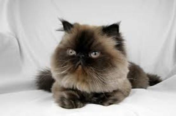 lưu ý khi nuôi mèo Himalaya