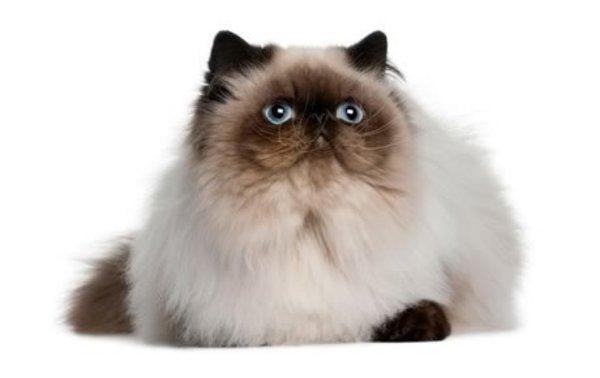 Đôi mắt tuyệt đẹp mèo Himalaya
