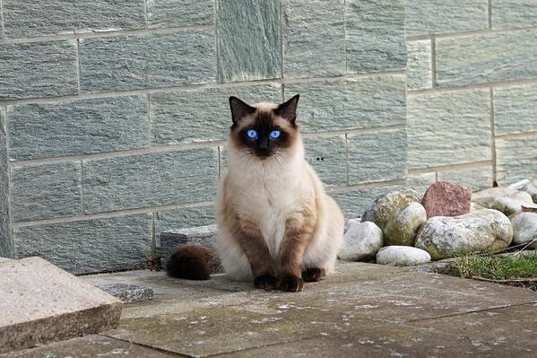 Mèo Himalaya thích nơi yên tĩnh