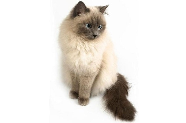 Mèo Himalaya rất thông minh