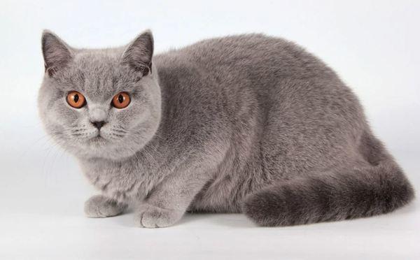 Mèo anh lông ngắn xám