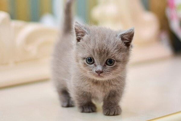 Lựa chọn thức ăn cho mèo Munchkin
