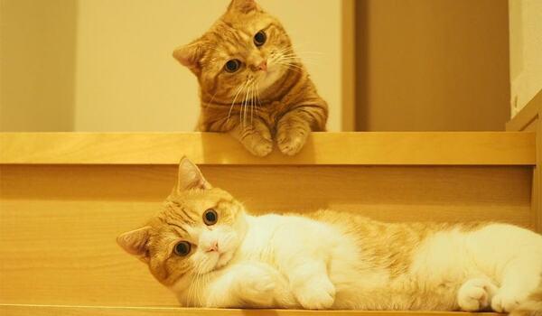 Giống mèo này có những chiếc chân ngắn siêu đáng yêu