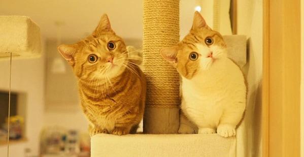 Giống mèo Munchkin rất thông minh và thân thiện