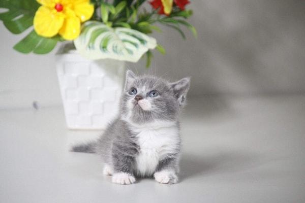 Giá mèo Munchkin trên thị trường hiện nay
