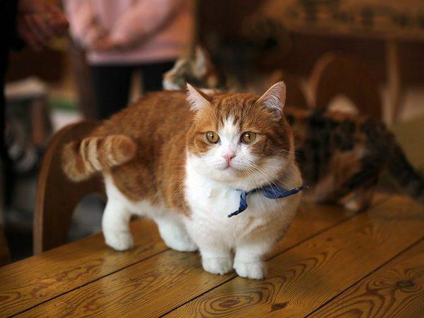 CÙng tìm hiểu những thông tin hữu ích về mèo munchkin