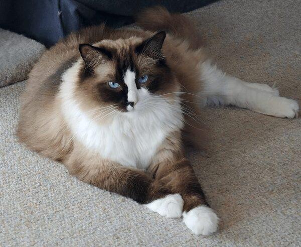 Giới thiệu mèo Ragdoll