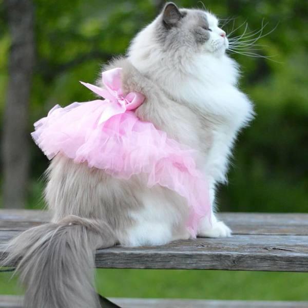 Chăm sóc sức khỏe cho mèo Ragdoll
