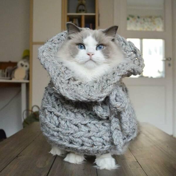 Giá mèo Ragdoll