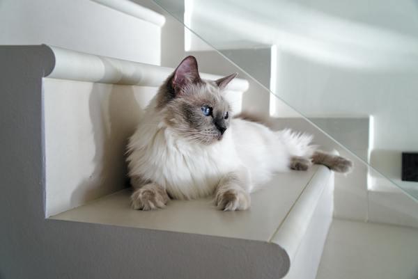 Mèo Ragdoll nhập khẩu