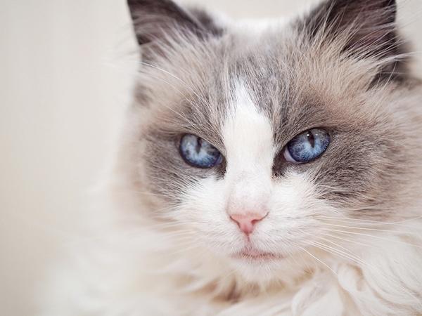 Mèo Ragdoll và nguồn gốc