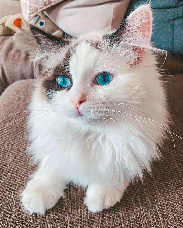 Đặc diểm cực kì hiếm của mèo Ragdoll