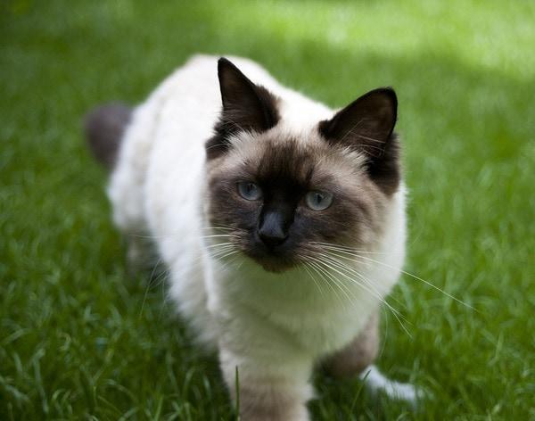 Giống mèo Ragdoll ngoan ngoãn