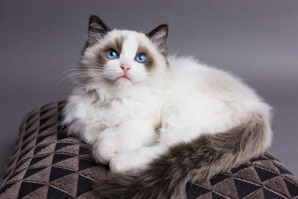 Mèo Ragdoll thân thiện và gần gũi