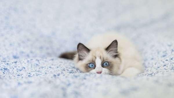 Tuổi thọ mèo Ragdoll