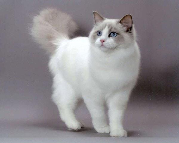 Cung cấp dinh dưỡng cho mèo Ragdoll