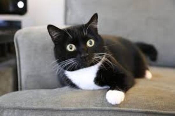 Giống mèo Tuxedo
