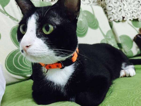 Chăm sóc lông cho mèo Tuxedo