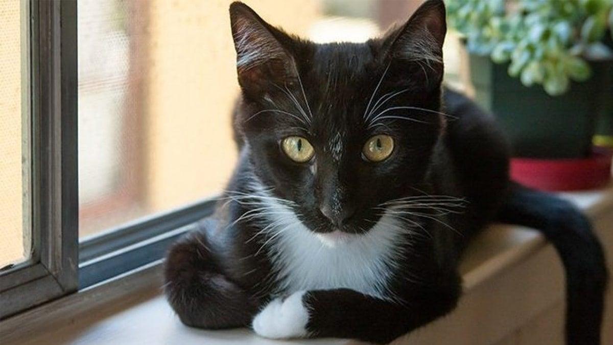 Mèo Tuxedo
