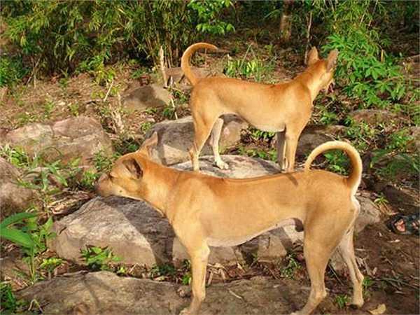 Bệnh thường gặp ở chó Phú Quốc