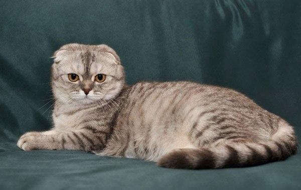 Nguồn gốc mèo Scottish