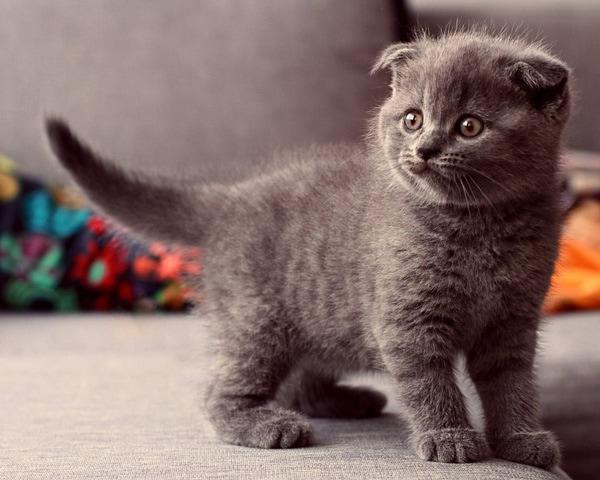 Mèo Scottish chia thành nhiều loại theo chiều dài lông