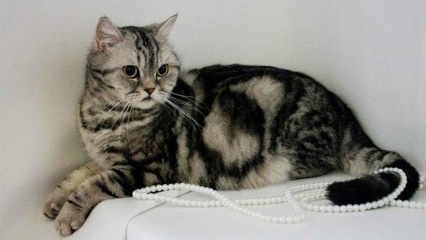 Mèo Scottish tai thẳng