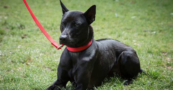 Chó Phú Quốc đen tuyền