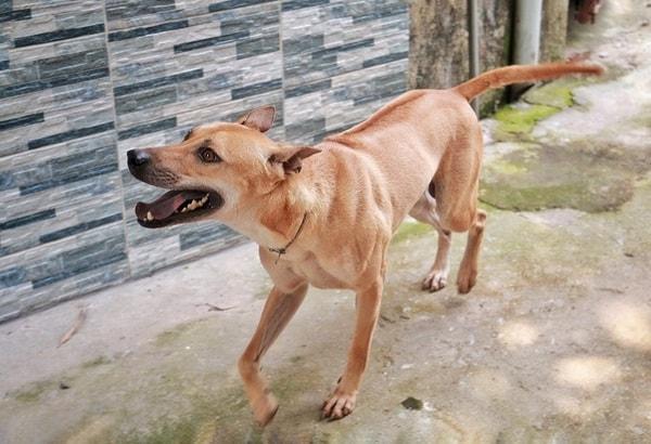Đặc điểm nhận biết chó Phú Quốc