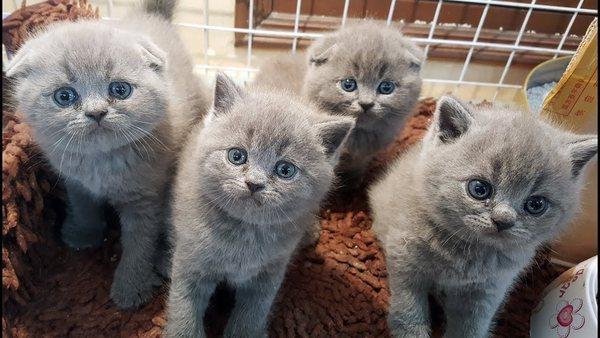 Mèo Scottish xám xanh đắt giá nhất