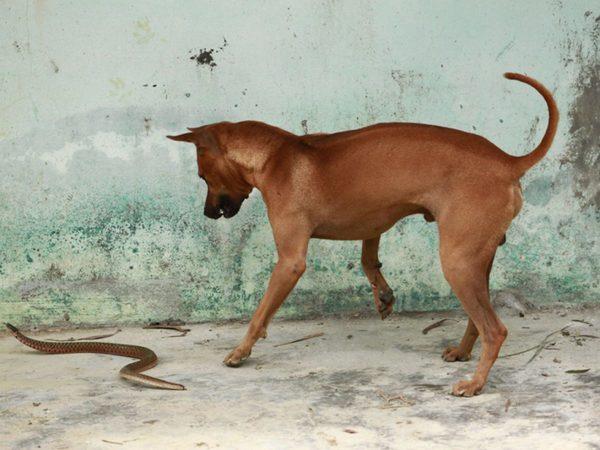 Chó Phú Quốc săn mồi