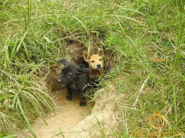 Chó Phú Quốc tự đào hang cho con