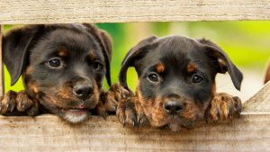 trại chó rottweiler