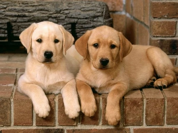 Thông tin về chó Labrador Retriever