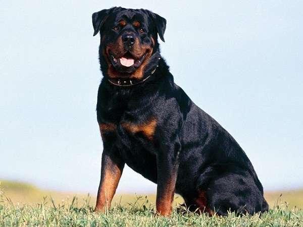 Đặc điểm chó Rottweiler