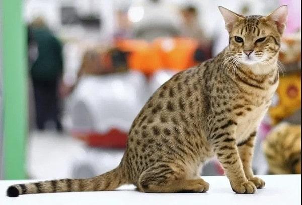 Đặc điểm mèo Ocicat