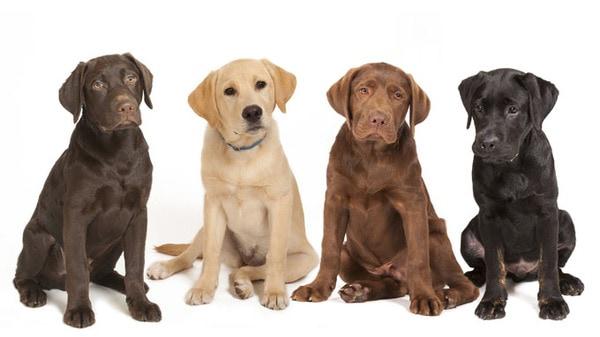 Thông tin tổng quan về chó Labrador