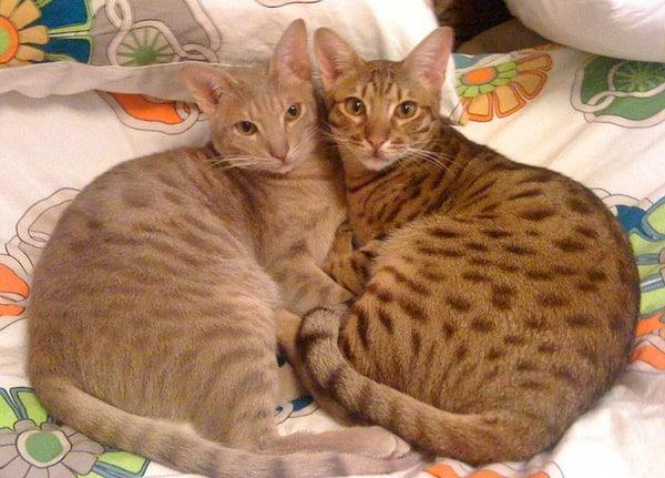 Cách chăm sóc mèo Ocicat