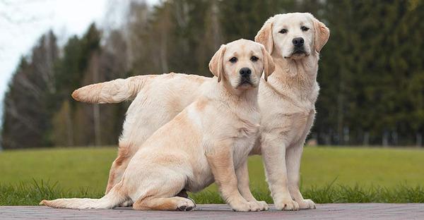 Đặc điểm bề ngoài của chó Labrador
