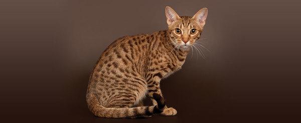 Gía mèo Ocicat