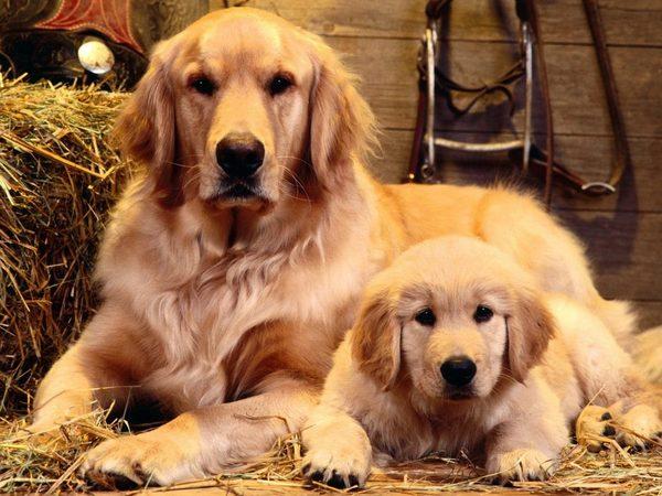 Đặc tính chó Golden