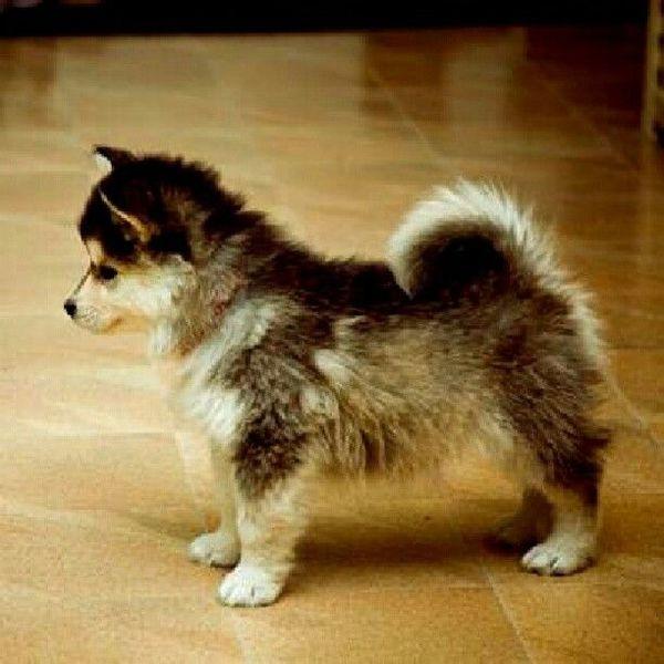Chó Phốc sóc lai Husky